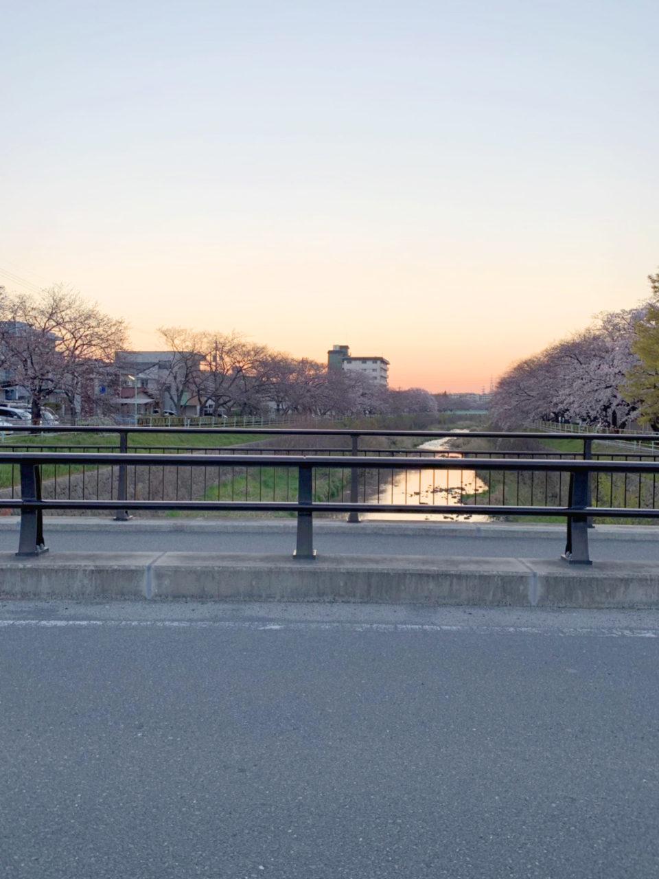 香流川の桜並木2