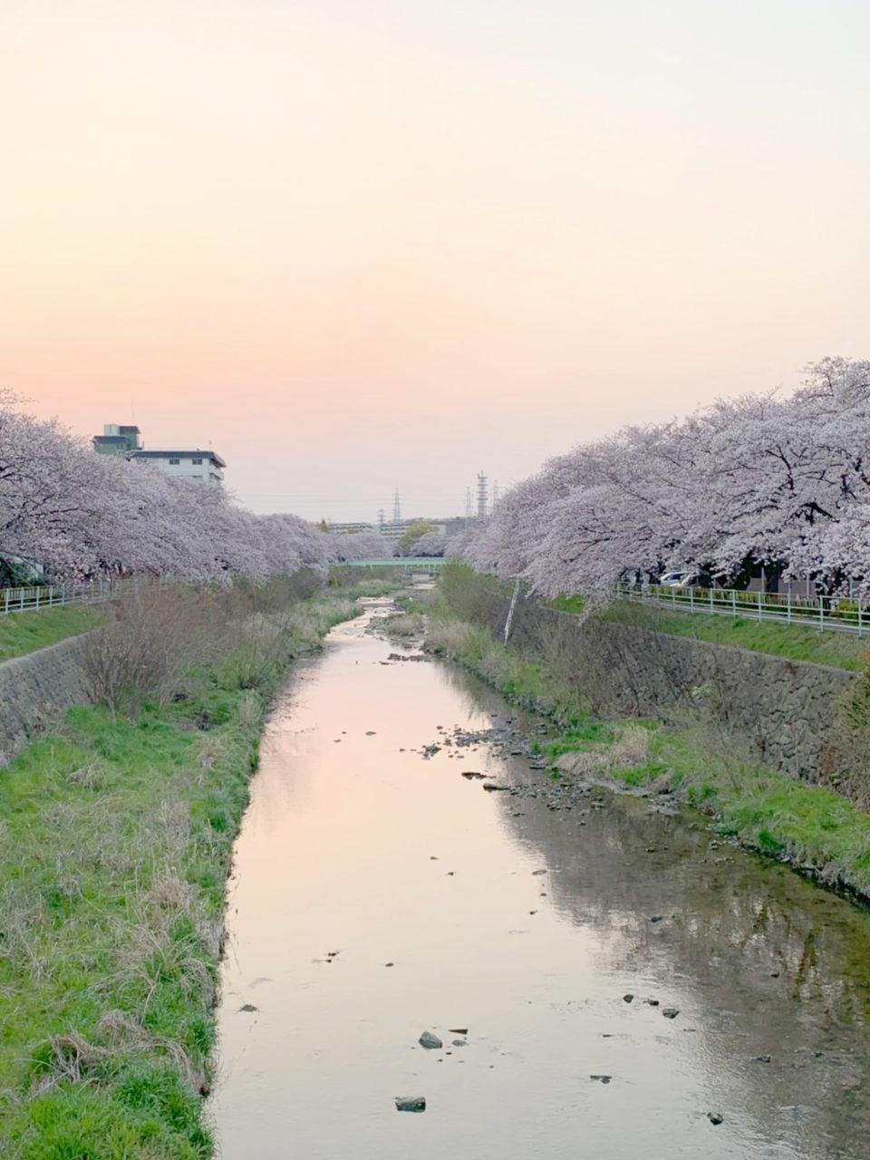 桜並木も満開