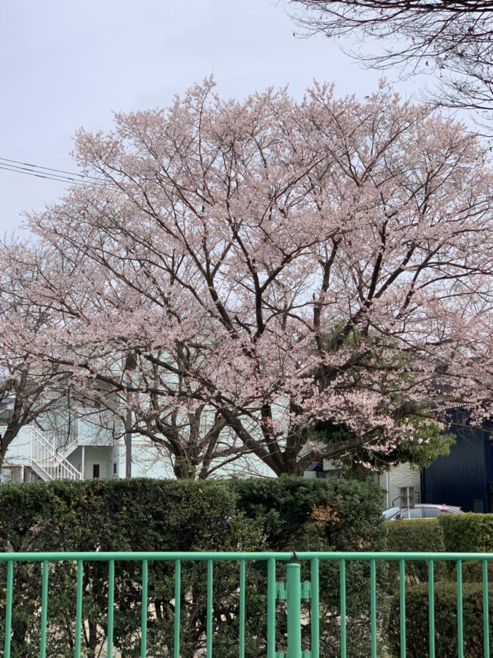 尾張旭市の現場の近く桜?満開です。